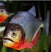 ikan piranha dan bawal