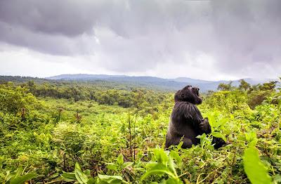 Gorilla KIng