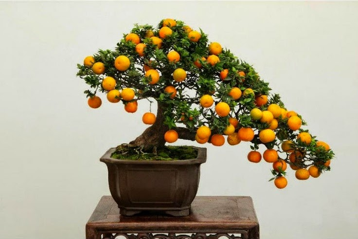 bonsai tree that grows fruit