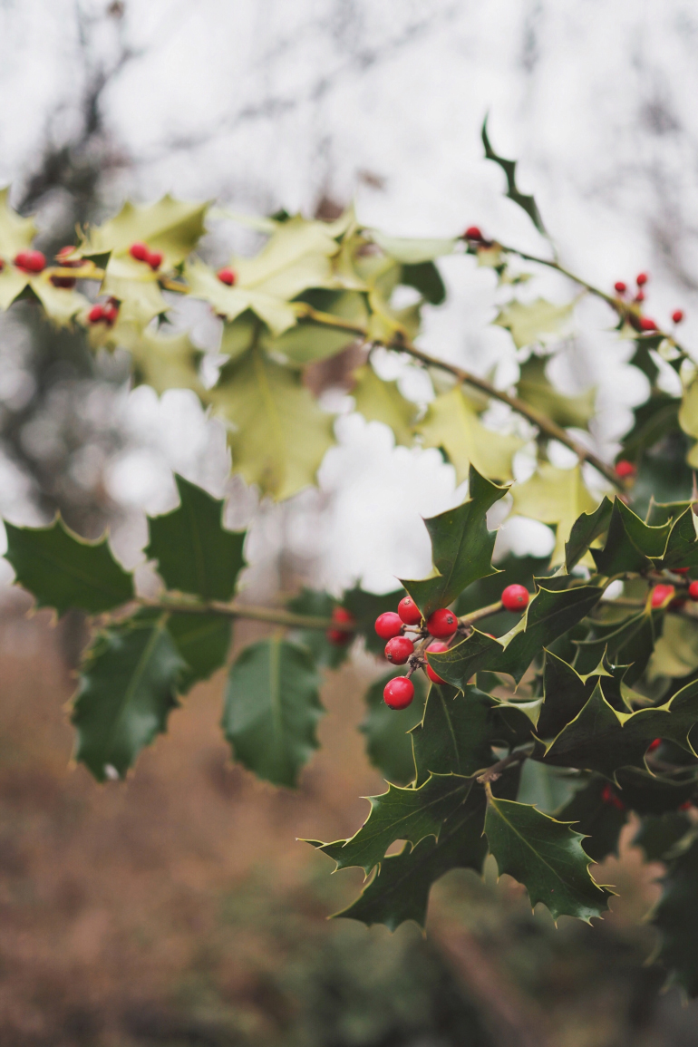 Cueillir du houx dans les sous-bois pour un beau bouquet d'hiver