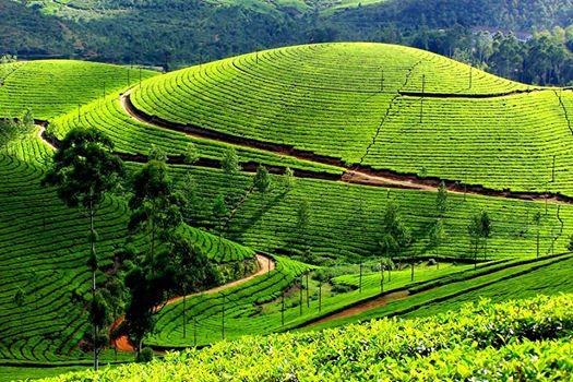 munnar plantations de thé