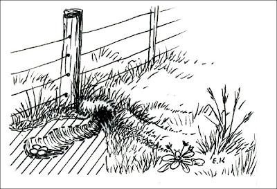 nido de Lechucita de las vizcacheras Athene cunicularia