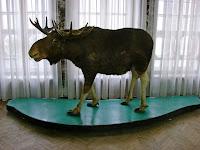 Лось в полтавском краеведческом музее