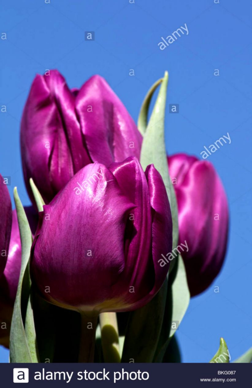 Flowers Tulips CloseUp Nature
