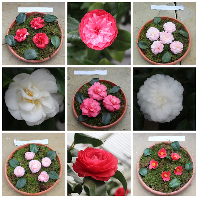 A selection of Camellia japonica blooms