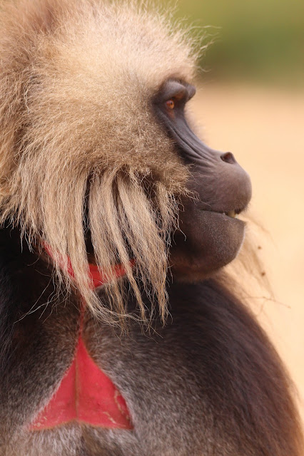 close-up photo of a gelada highland baboon in the simien mountains in ethiopia