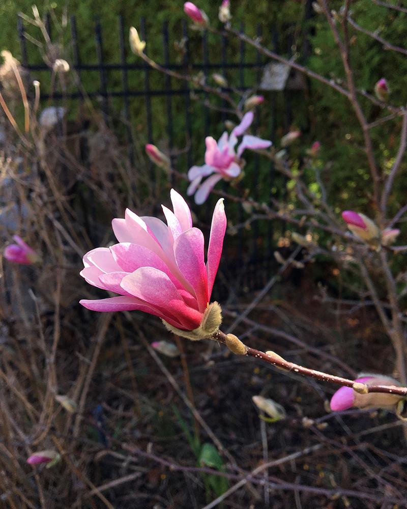 Pink magnolia stellata flower