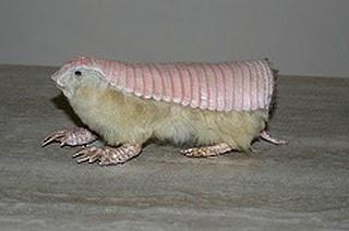 Pink fairy armadillo pet