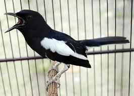 Masteran Suara Burung Kacer Durasi Panjang