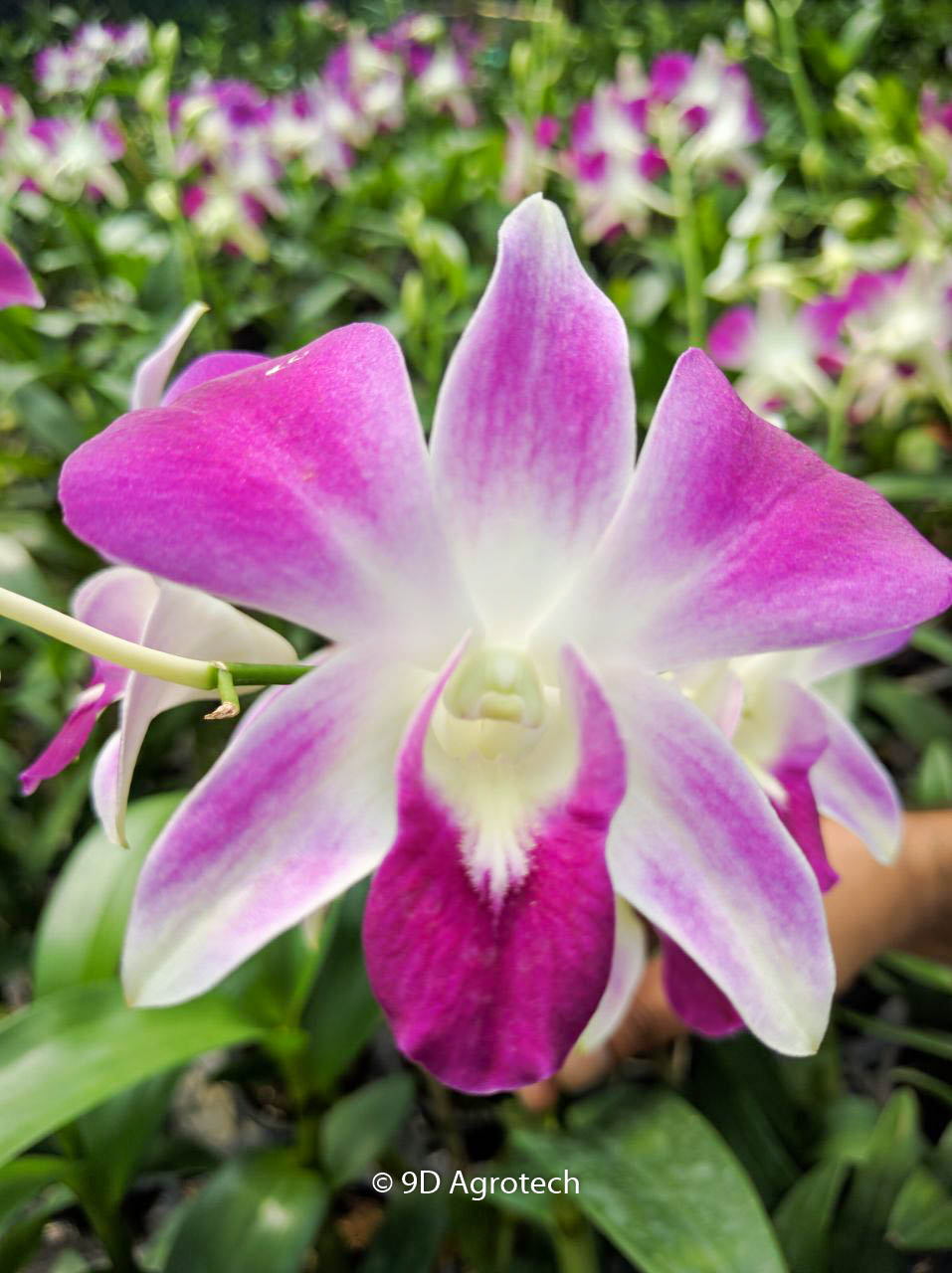 Top 8 Varieties Of Orchids Flowers In India