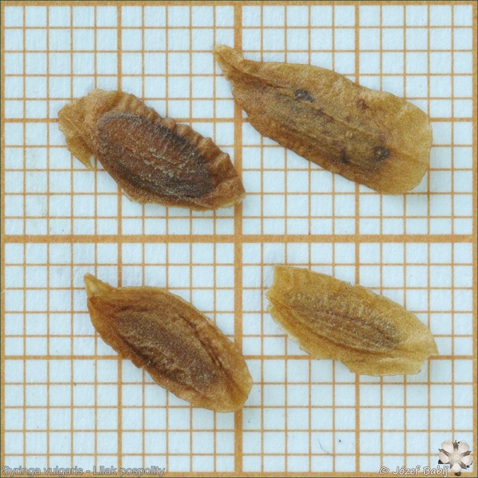 Syringa vulgaris seeds - Lilak pospolity nasiona