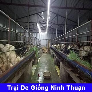 Trại dê giống Ninh Thuận