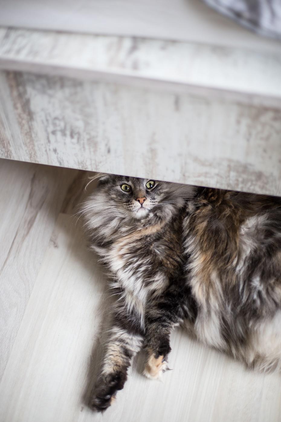 koty norweskie leśne
