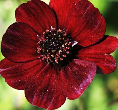 good morning images with flowers hd - chocolate cosmos