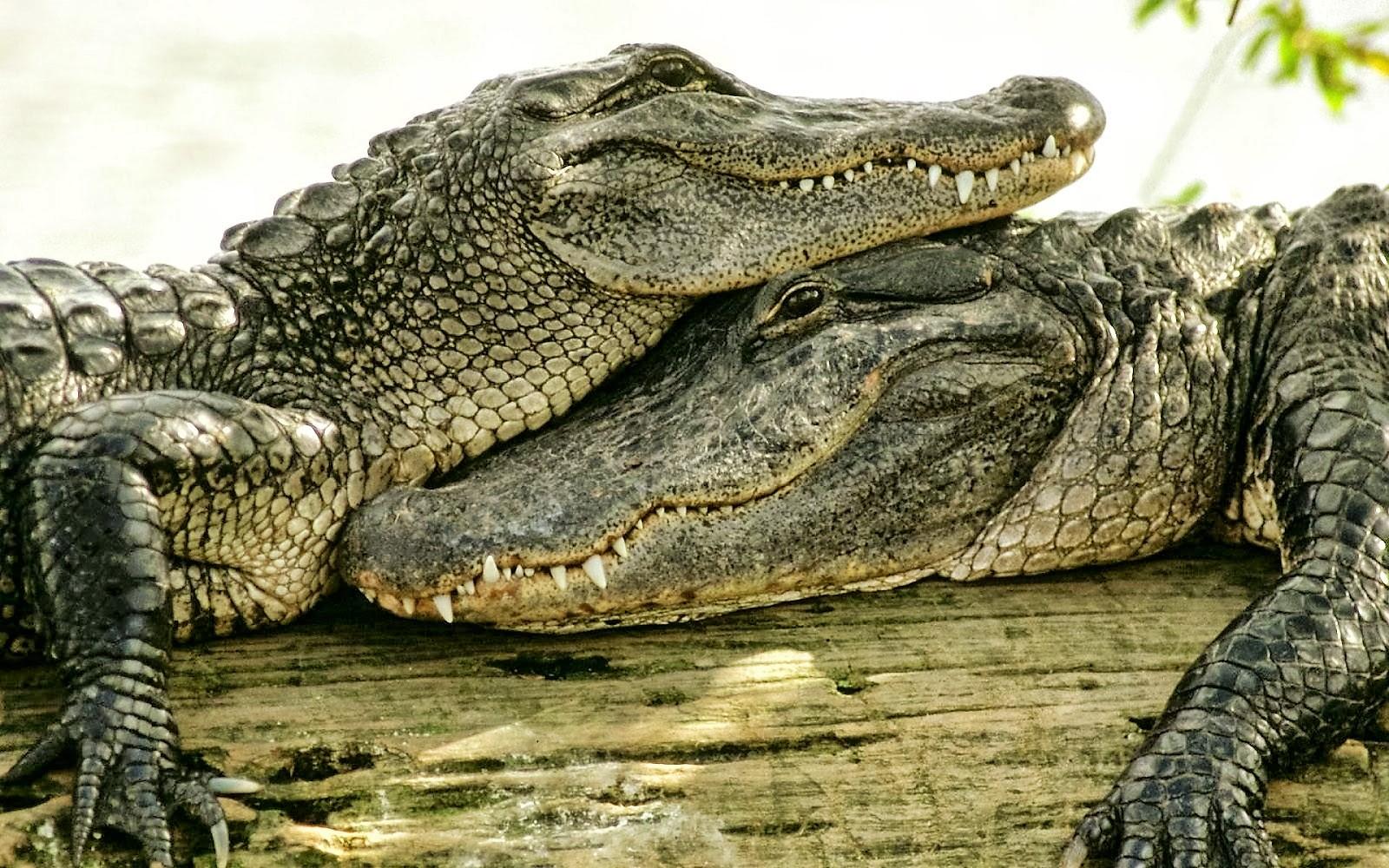5 Five 5 Crocodile