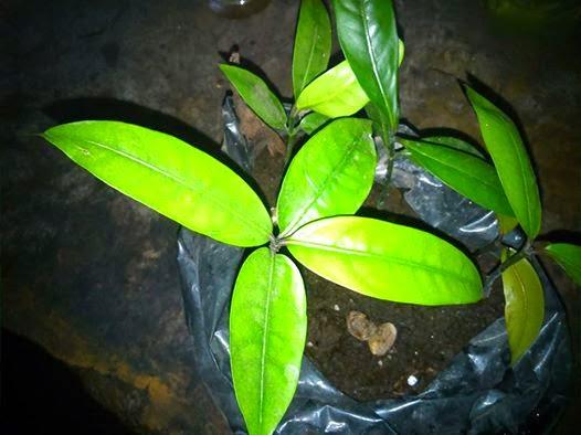 Biji mundu yang berhasil sprout menjadi bibit tanaman baru. (Dokumentasi pribadi)