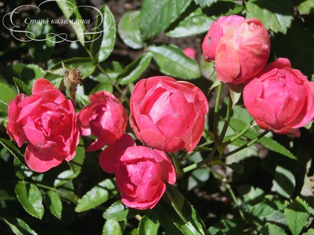 розы, сочетания роз, розарии, розы в саду
