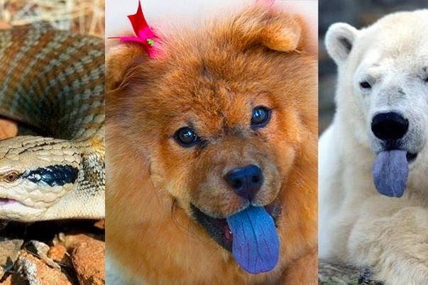 3 animales que tienen la lengua azul