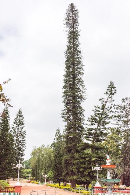 Tall pine tree at Lalbaugh Botanical Garden