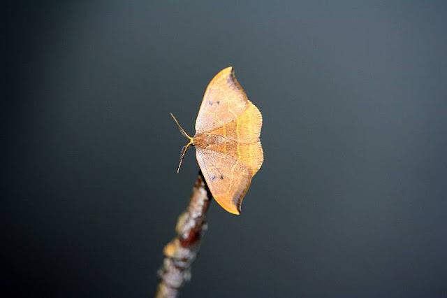 Eichen-Sichelflügler, Watsonalla binaria
