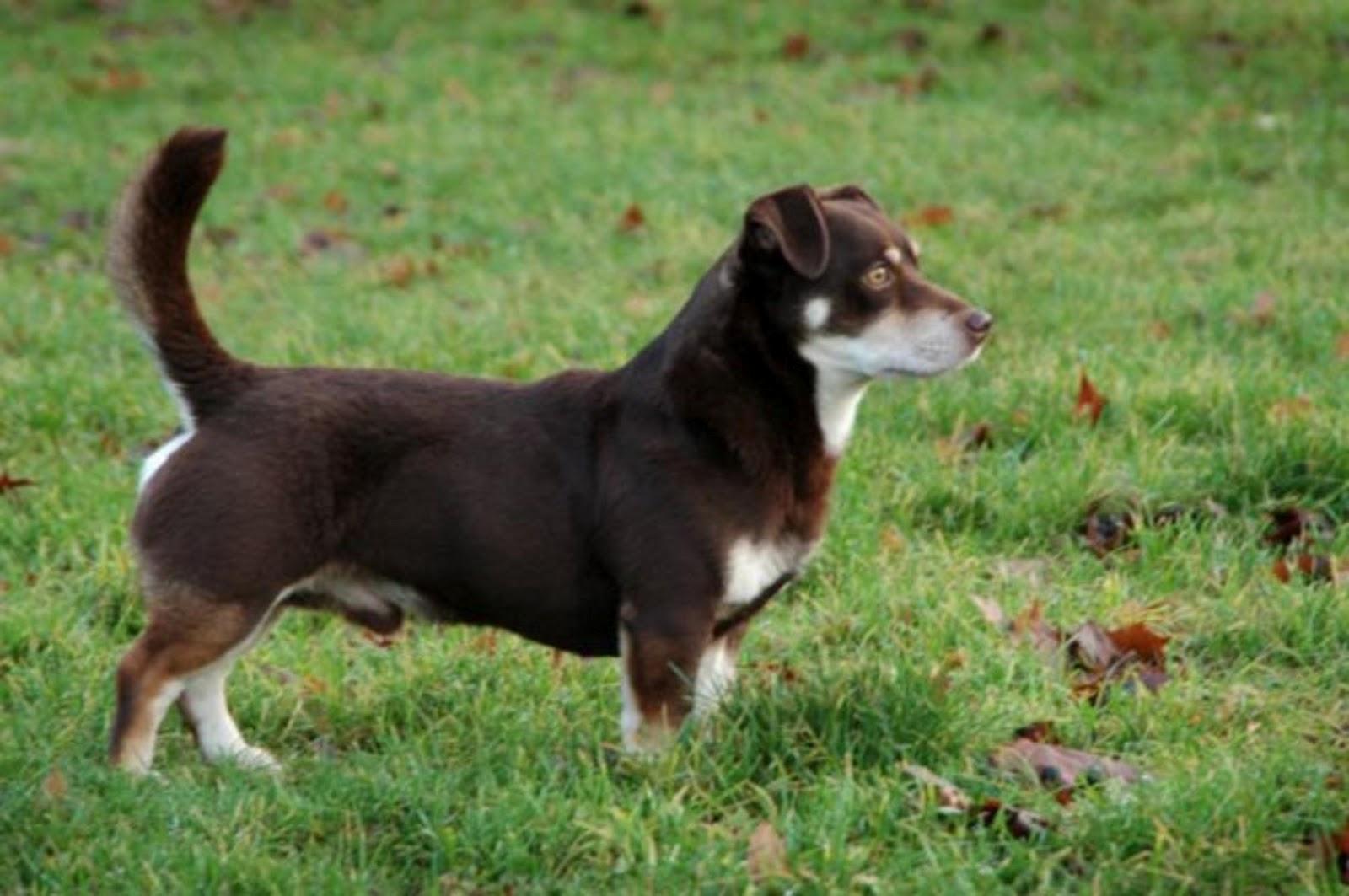 Lancashire Heeler | The Life of Animals
