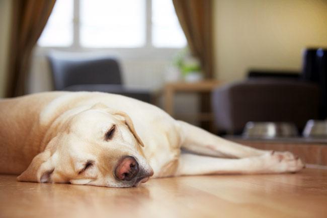 Zapalenie stawów u psa