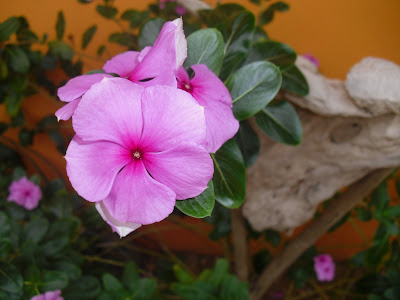 Mis plantas en panam abril 2011 for Plantas ornamentales con flores