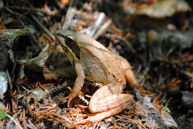 Wood Frog, Boreal Forest vernal pool reptile