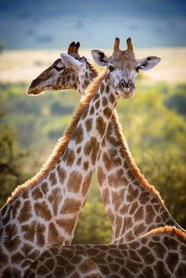 Tiernas imagenes de girafas