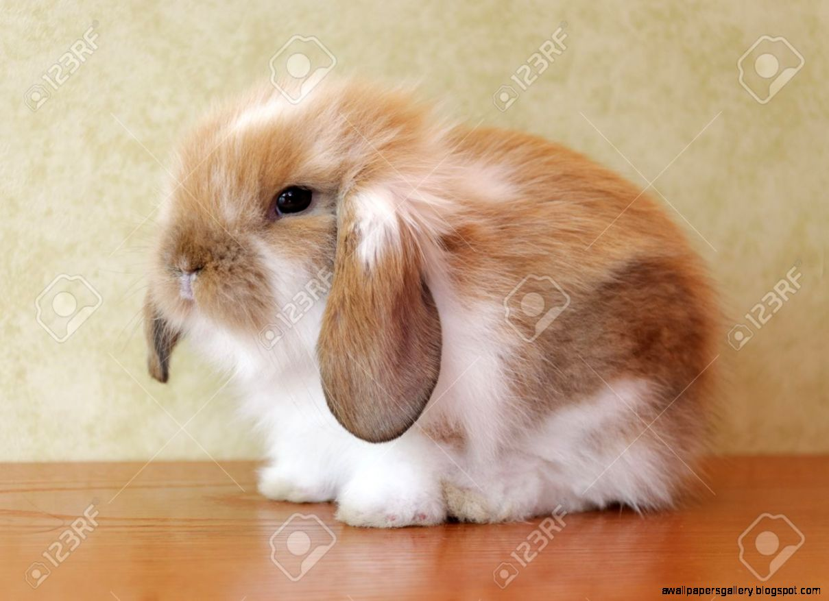 Baby Bunnies With Floppy Ears | Wallpapers Gallery