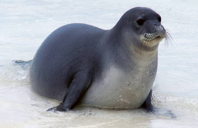 Seal - animals that start with letter S