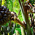 Nipa Palm Benefits, Fruits, Leaves, And Sap To Making Sugar