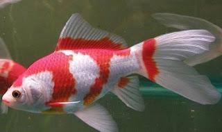 cara memelihara ikan komet di kolam,cara memelihara ikan komet dalam aquarium,budidaya ikan komet di aquarium,harga ikan komet,budidaya ikan hias komet,contoh cara pemijahan ikan komet,