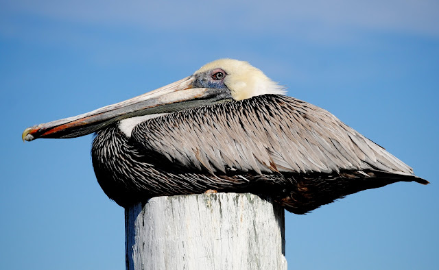 Pelican Portrait plus