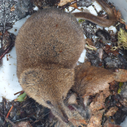 Study of Arctic shrews, parasites indicates how climate change may affect ecosystems and communities