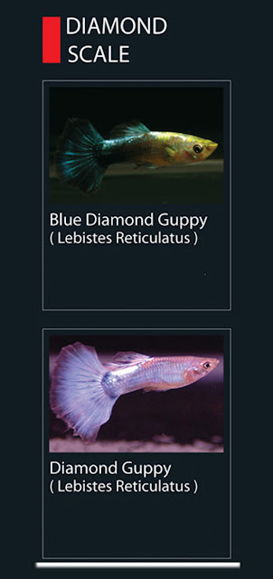 33. Blue Diamond guppy Nama latin Lebistes Reticulatus  34. Diamond Guppy  Nama latin Lebistes Reticulatus