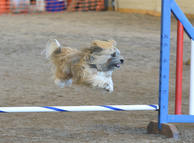 Rocco Havanese dog agility jump