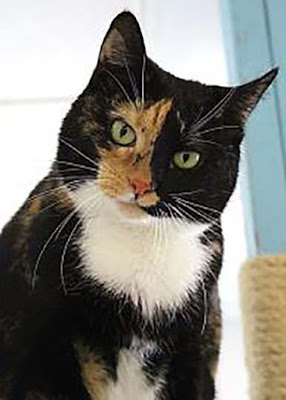 Clover the calico cat