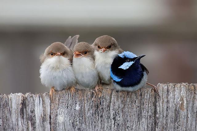 أكثر 30 صورة رائعة للطيور cute-bird-parents-26