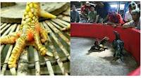 Simak Kelebihan Dan Kekurangan Ayam Jari Tengkep