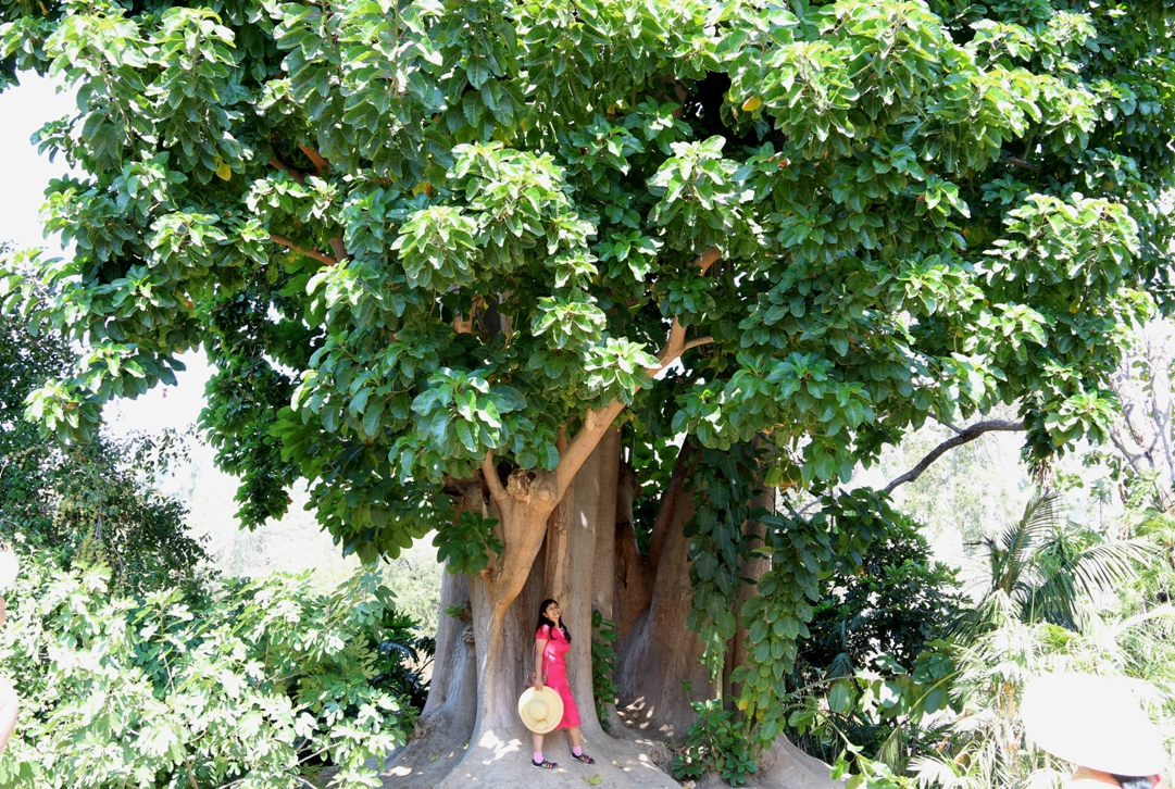 Unusual big and exotic drought tolerant tree ombu for Fast growing drought tolerant trees