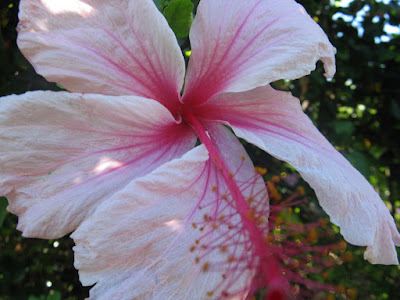 Turks and Caicos giant pink hibiscus by garden muses: a Toronto gardening blog