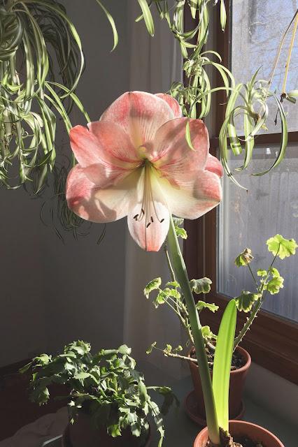 flowers, amaryllis, houseplants, indoor gardening, Anne Butera, My Giant Strawberry