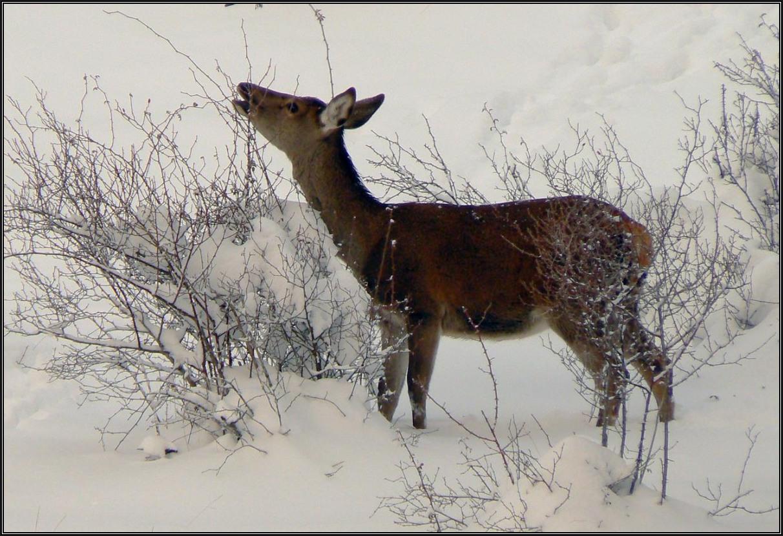Con mucha nieve no queda más remedio que ramonear