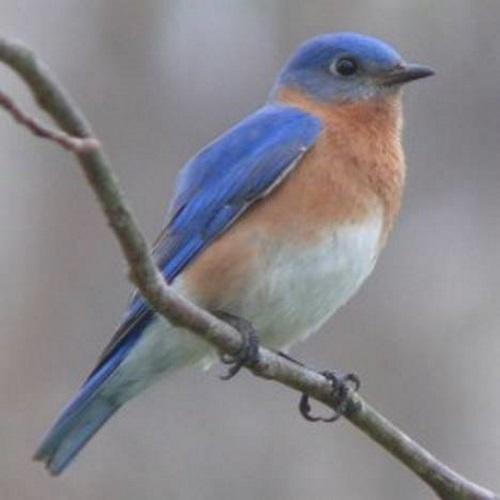 Pássaro azul.