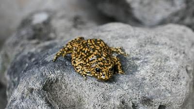 Revelan por qué el extracto de rana no es saludable