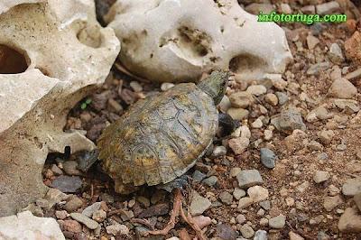 Mauremys japonica - Galápago de Japón