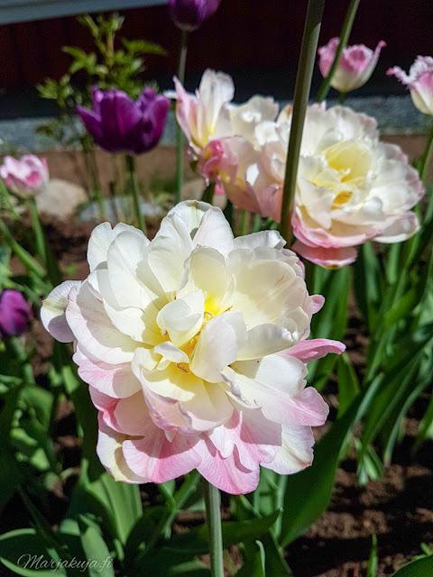 tulppaani kevt kukkapenkki