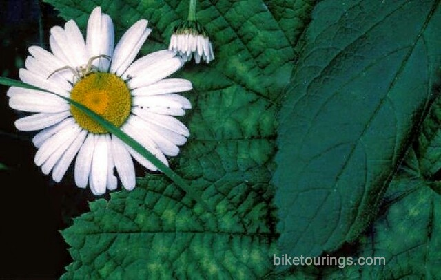 Picture of spider on ox eye daisy with leaves, Cape Flattery, Washington