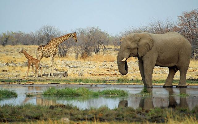 foto giraffes olifant water
